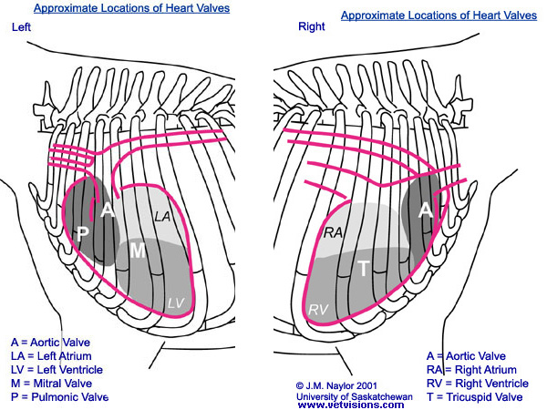 Diagram showing approximate valve locations for auscultation (copyright J.M. Naylor 2001 University of Saskatchewan)